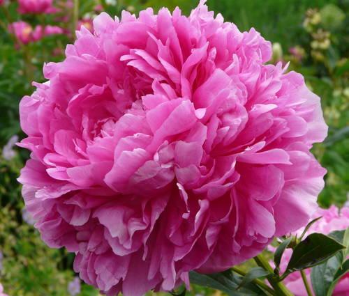 Produktbild Paeonia lactiflora 'Glory Hallelujah'