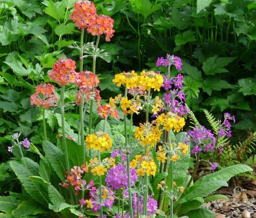 Produktbild Primula Bullesiana-Hybriden