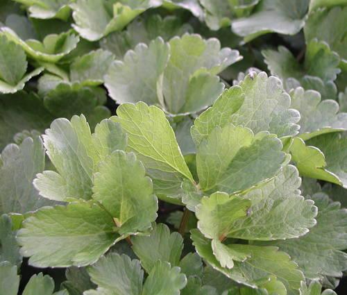 Produktbild Ligusticum scoticum
