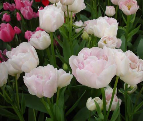Produktbild Tulipa 'Angélique'