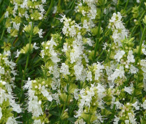 Produktbild Hyssopus officinalis 'Albus'