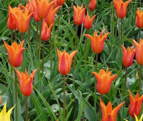 Produktbild Tulipa 'Ballerina'