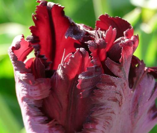 Produktbild Tulipa 'Black Parrot'