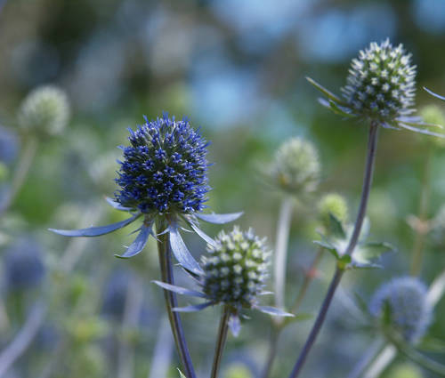 Produktbild Eryngium planum 'Blaukappe'