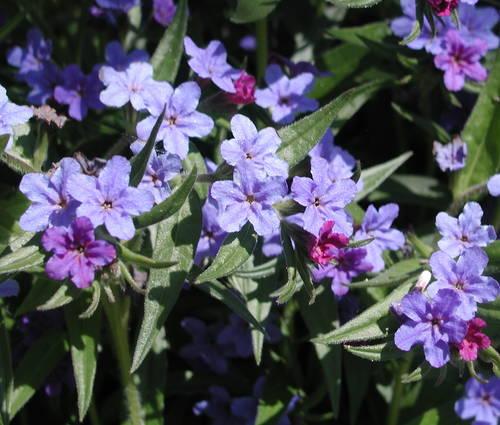 Produktbild Lithospermum purpurocaeruleum