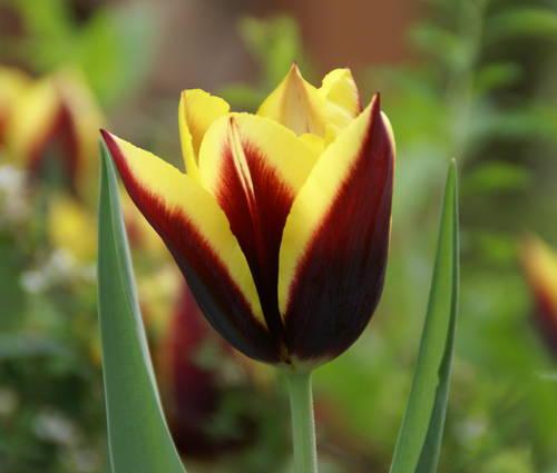 Produktbild Tulipa 'Gavota'