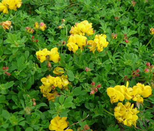 Produktbild Lotus corniculatus 'Pleniflorus'