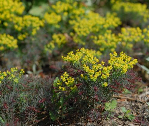Produktbild Euphorbia cyparissias 'Fens Ruby'