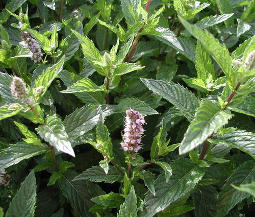 Produktbild Mentha spicata 'Englische Grüne'