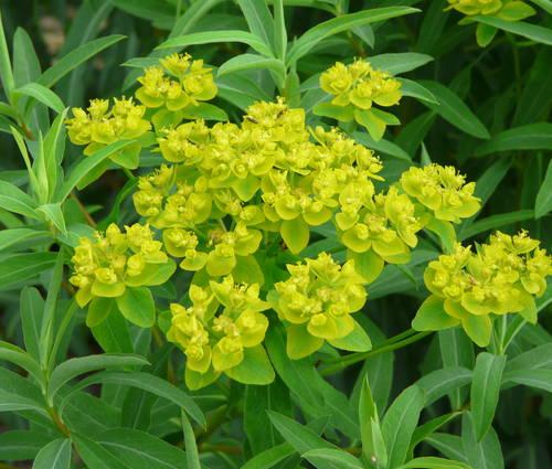 Produktbild Euphorbia soongarica