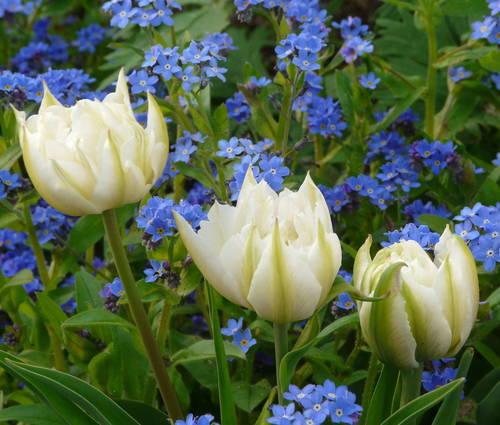 Produktbild Tulipa 'Mount Tacoma'