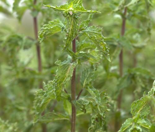 Produktbild Mentha spicata var. crispa 'Nane'