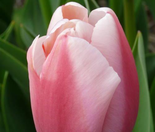 Produktbild Tulipa 'Ollioules'
