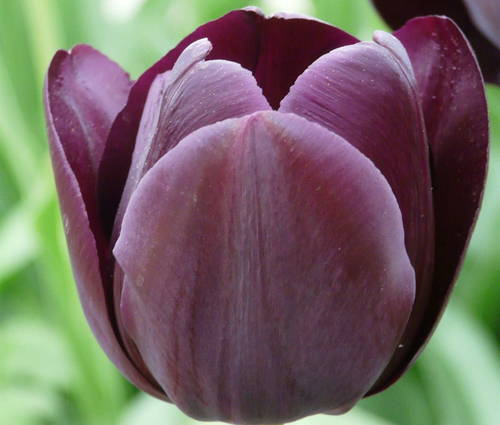 Produktbild Tulipa 'Queen of Night'