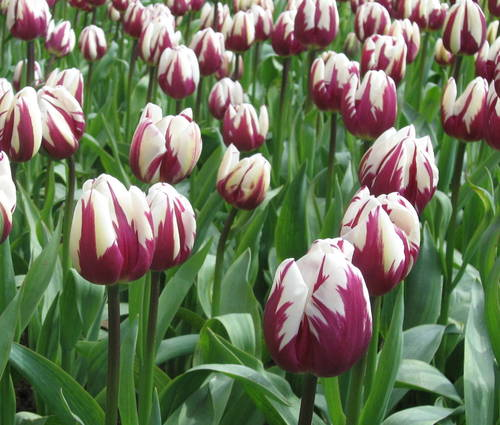 Produktbild Tulipa 'Rem's Favourite'