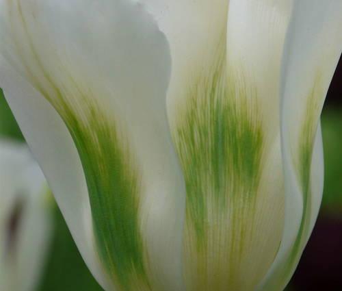 Produktbild Tulpenpaket Noblesse
