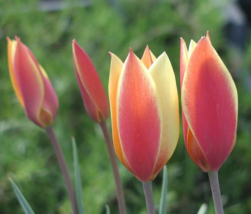 Produktbild Tulipa clusiana var. chrysantha 'Tubergen's Gem'