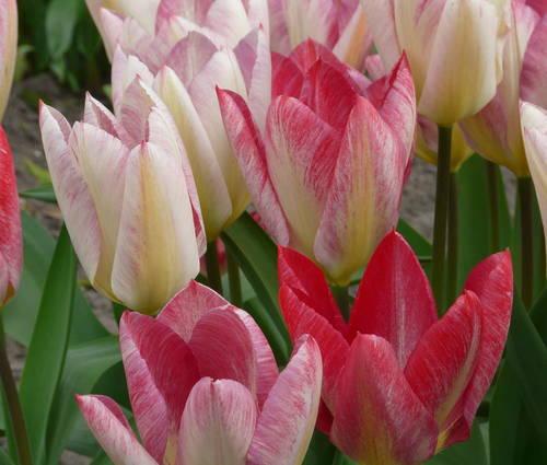 Produktbild Tulipa fosteriana 'Flaming Purissima'