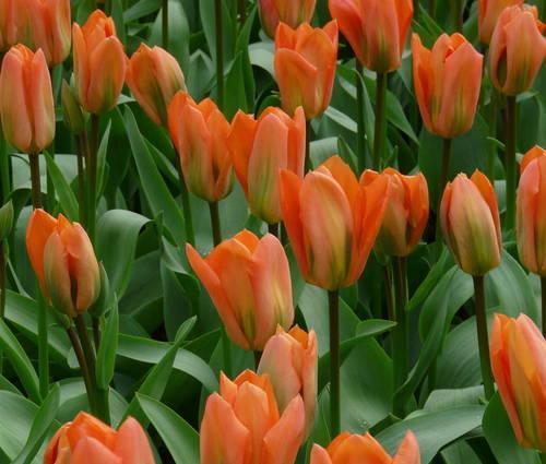 Produktbild Tulipa fosteriana 'Orange Emperor'