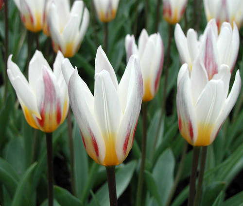 Produktbild Tulipa kaufmanniana 'Ice Stick'
