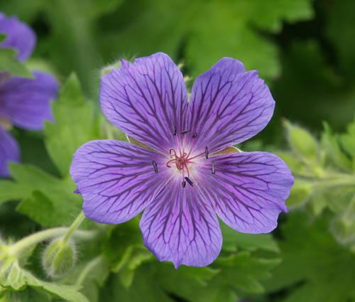 Produktbild Geranium ibericum 'Vital'