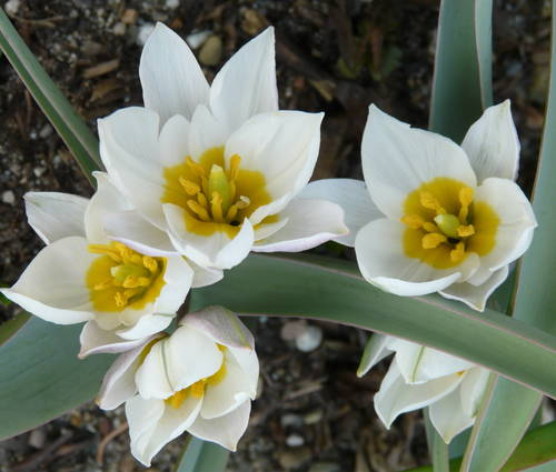 Produktbild Tulipa polychroma