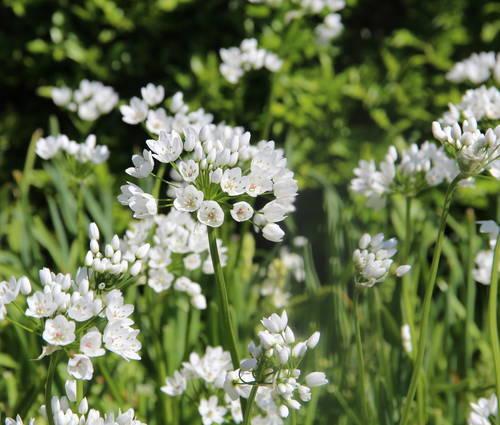 Produktbild Allium cowanii