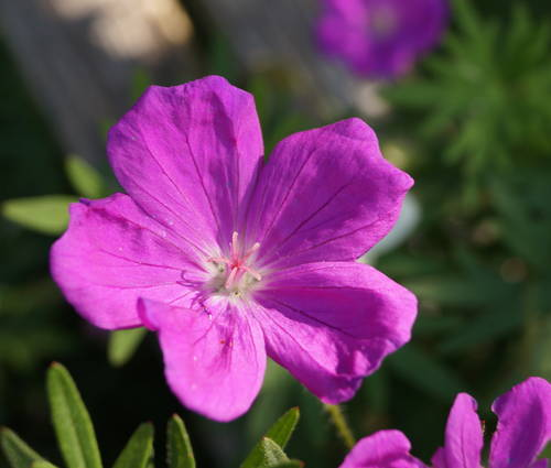 Produktbild Geranium sanguineum 'Elsbeth'