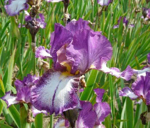 Produktbild Iris barbata-elatior 'Autumn Encore'