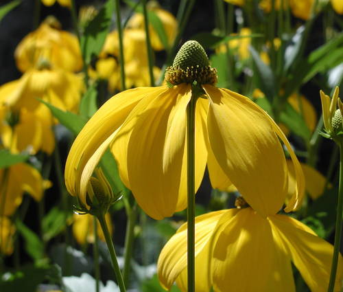 Produktbild Rudbeckia nitida 'Herbstsonne'