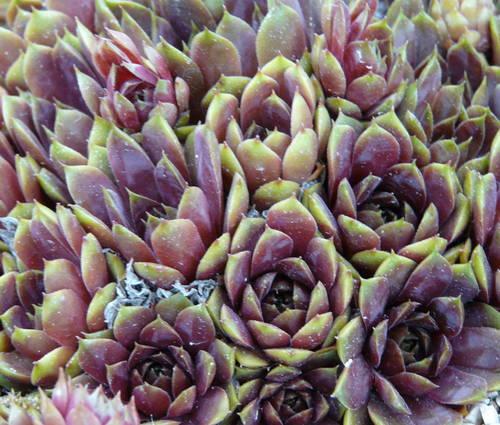Produktbild Sempervivum Hybride 'Lipari'