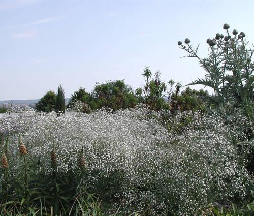 Produktbild Gypsophila paniculata 'Bristol Fairy'
