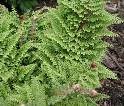 Produktbild Polystichum setiferum 'Plumosum Densum'