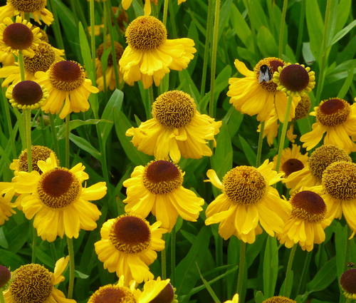Produktbild Helenium bigelovii 'The Bishop'