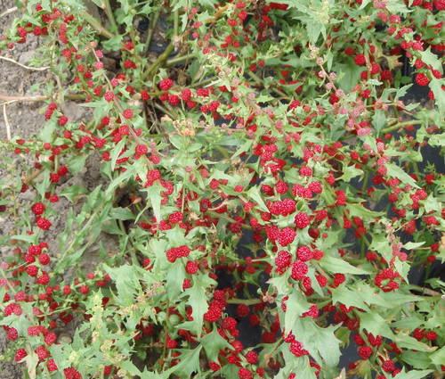 Produktbild Saatgut: Ähriger Erdbeerspinat