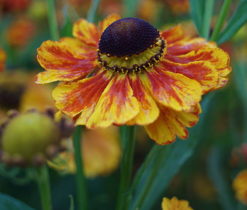 Produktbild Helenium Hybride 'Flammenrad'