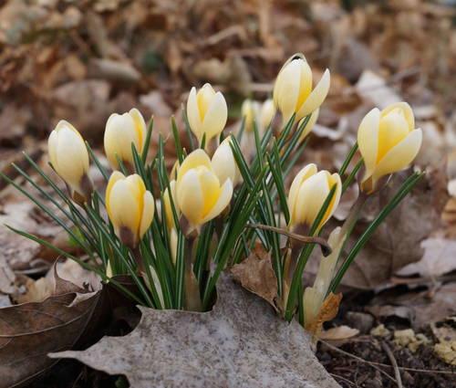 Produktbild Crocus chrysanthus 'Cream Beauty'