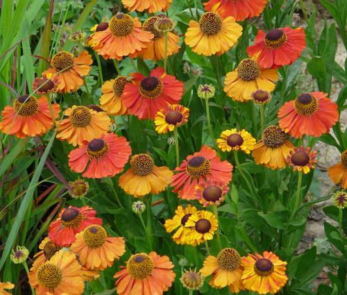 Produktbild Helenium Hybride 'Sahin's Early Flowerer' ®