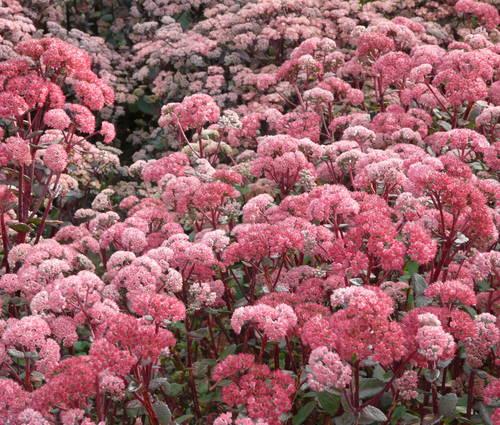 Produktbild Sedum telephium ssp. ruprechtii 'Red Cauli' ®