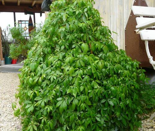 Produktbild Gynostemma pentaphyllum