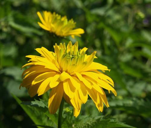 Produktbild Heliopsis helianthoides var. scabra 'Goldgrünherz'