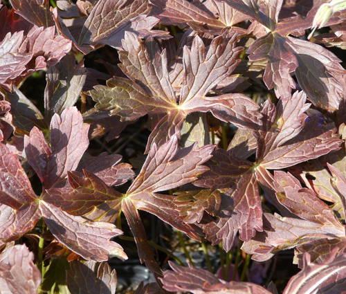 Produktbild Geranium maculatum 'Elizabeth Ann' ®