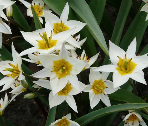 Produktbild Tulipa turkestanica
