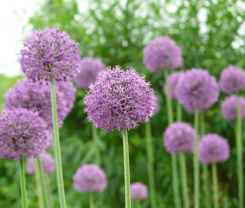 Produktbild Allium altissimum 'Goliath'