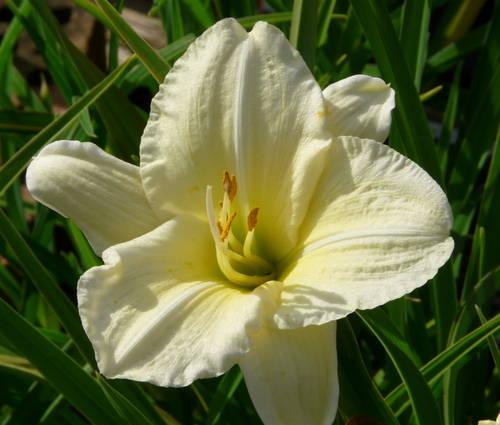 Produktbild Hemerocallis Hybride 'Joan Senior'