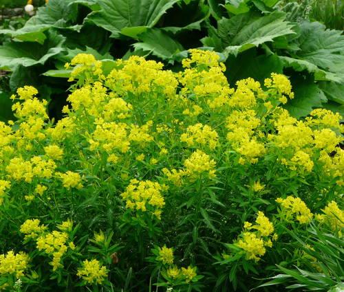 Produktbild Euphorbia palustris 'Walenburg's Glorie'